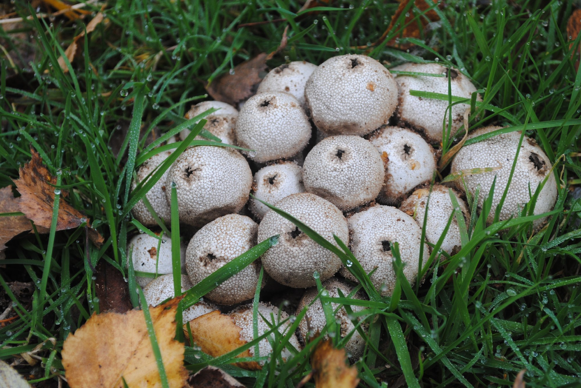 Common puffballs