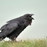 8. Raven at Seaford Head - Tom Lee
