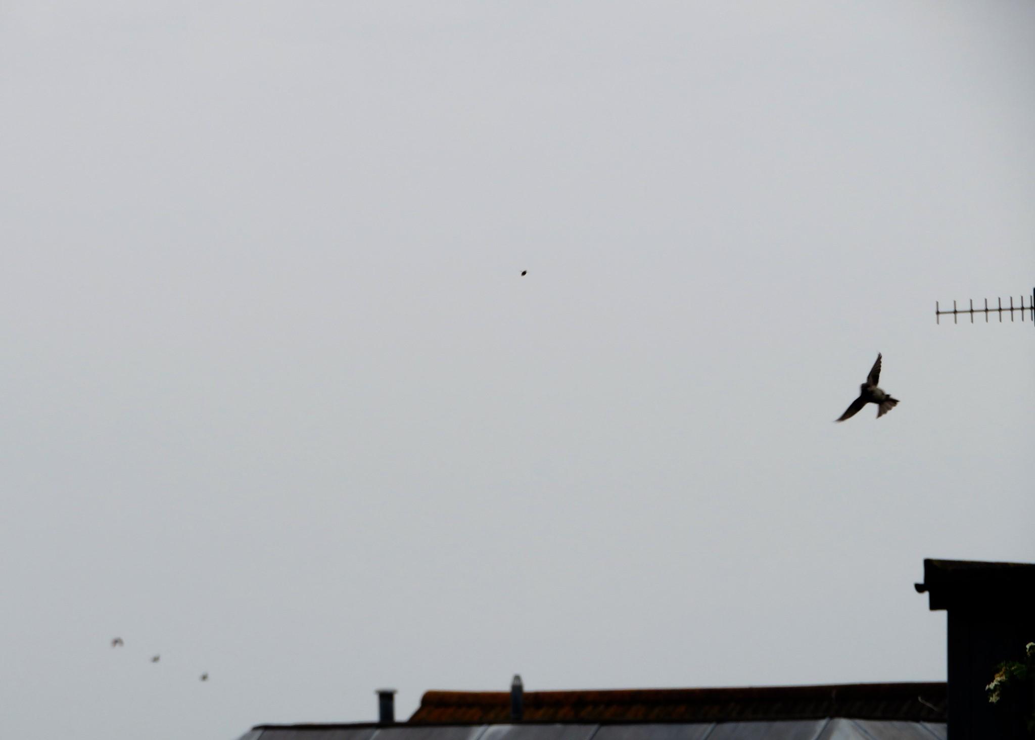 Red Kite Peter Whitcomb