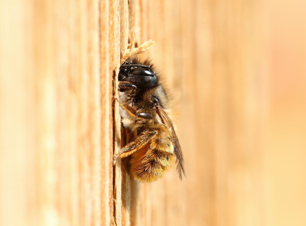 Red Mason Bee2