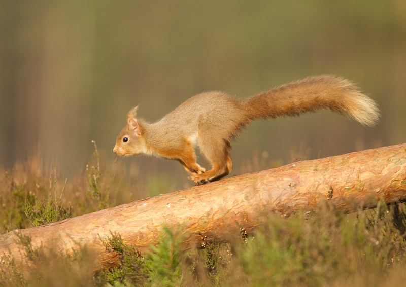 Red squirrel Peter Cairns2020VISION