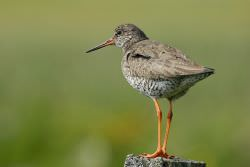 Redshank / Tom Marshall
