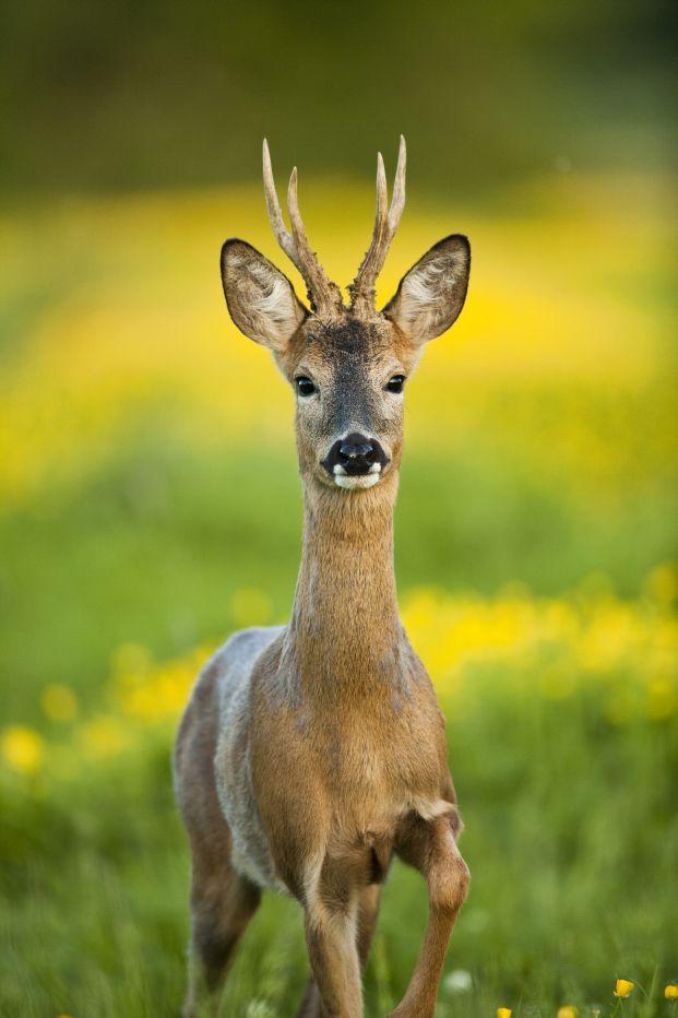 Roe Deer © Elliott Neep
