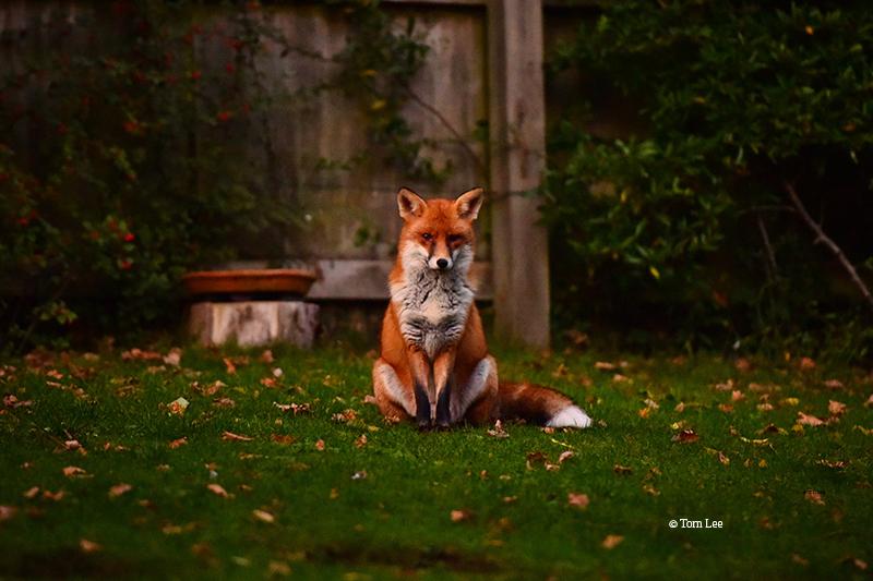 Rosie the fox by Tom Lee