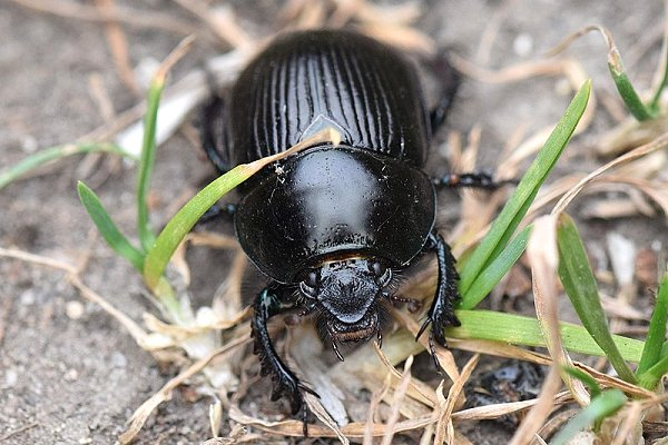Rx 800px Dor beetle (Geotrupes stercorarius)