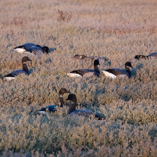 Rx brent goose