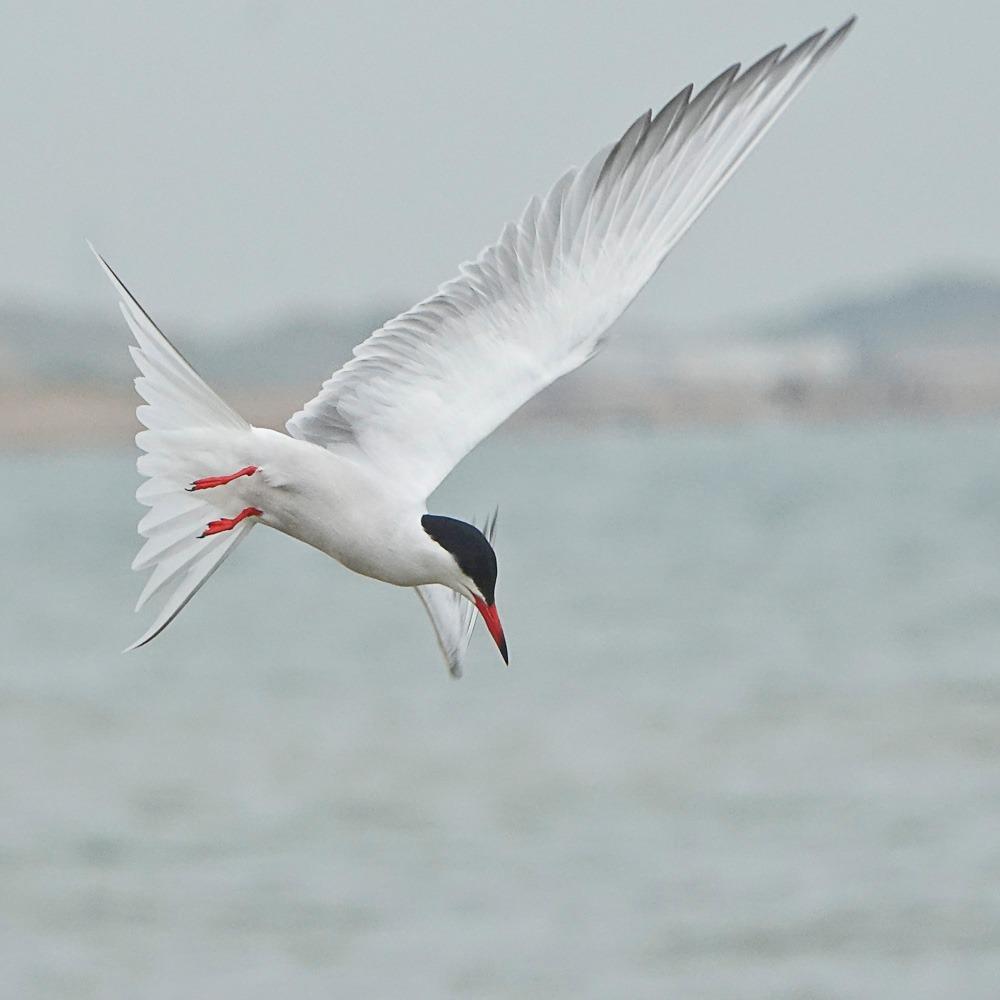 Rxcommon tern