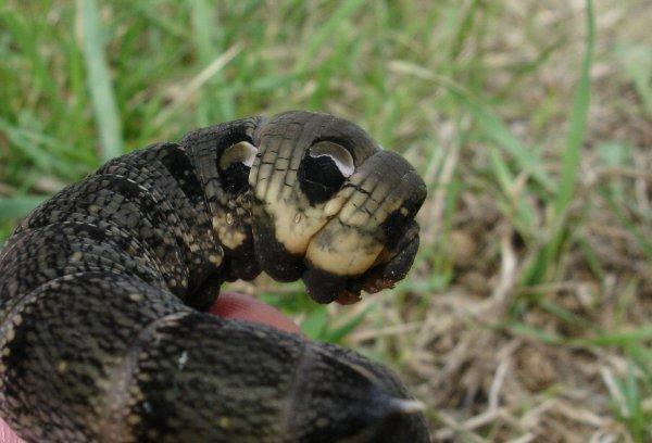 Rxelephant larva