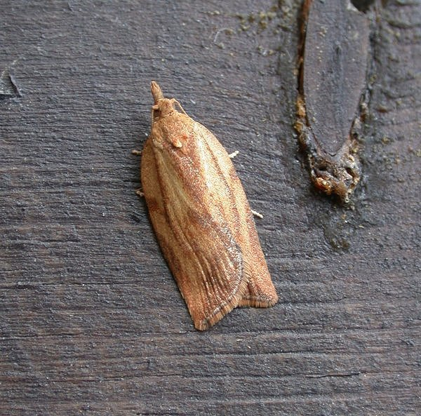 Rx(fem Light Brown Apple Moth 06d)