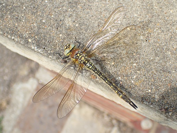 Rxhairy hawker