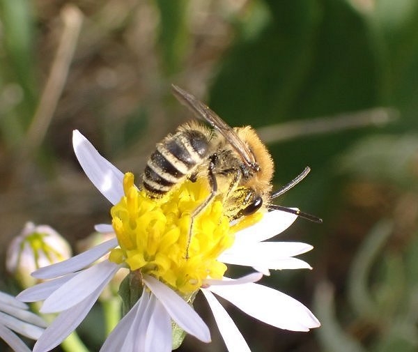 Rxseaster bee