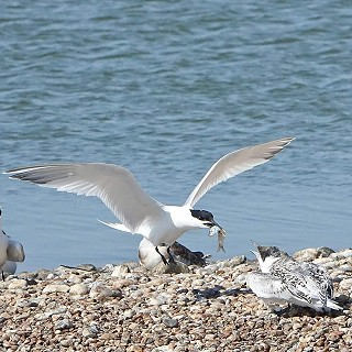 sandwich tern and chick