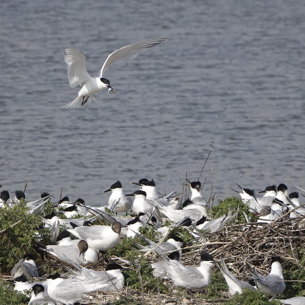 Sandwich Tern nesting