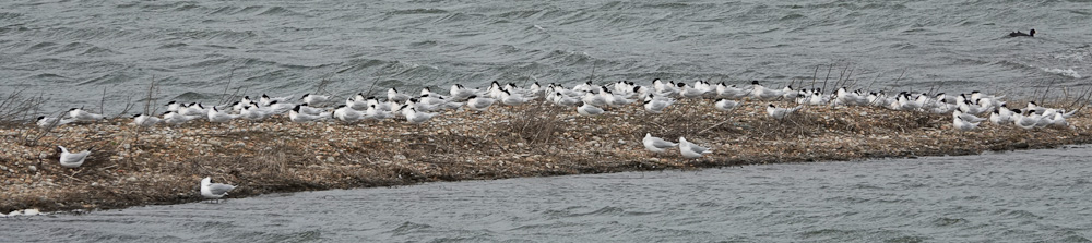 Sandwich Terns at Rye Harbour March