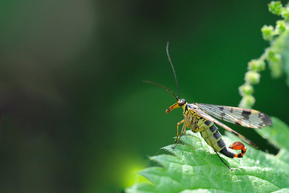 Scorpion fly (c) Amy Lewis