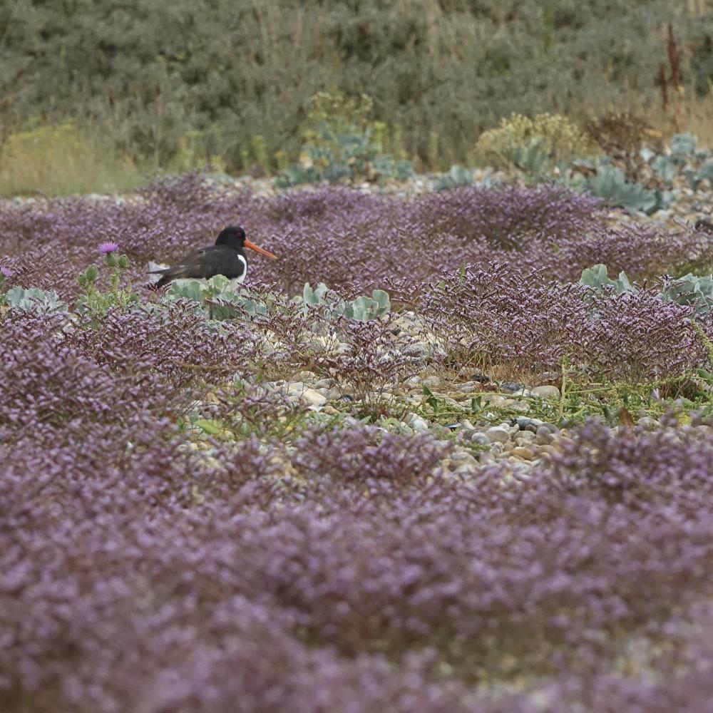 Sea lavender 02688