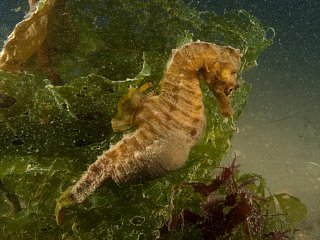 long snouted seahorse / Paul Naylor