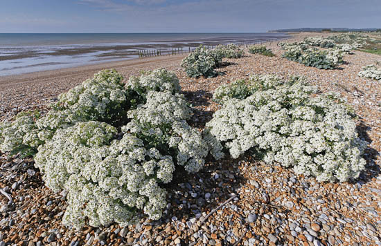 sea kale / Barry Yates