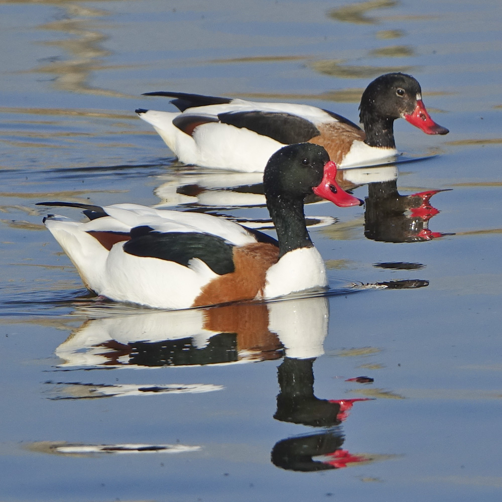 Shelduck pair 2