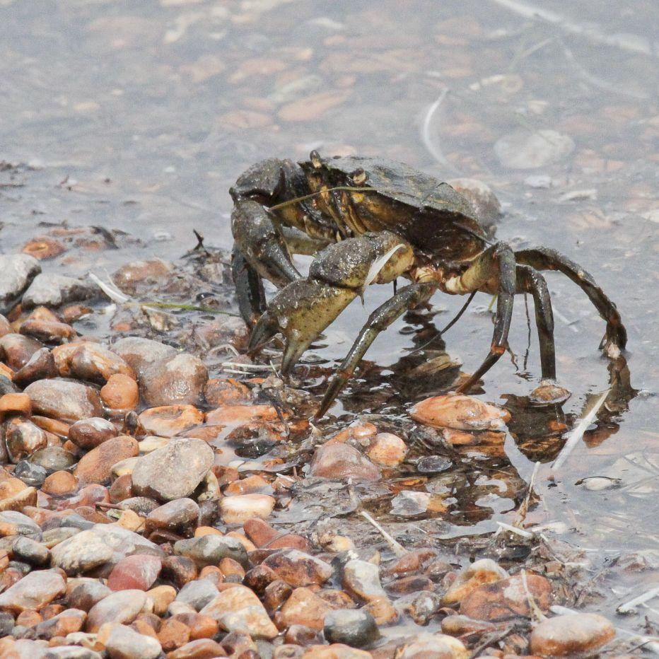 Shore Crab©Barry YatesSussex Wildlife Trust