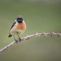 10.  Singing Stonechat - Chris Dawson