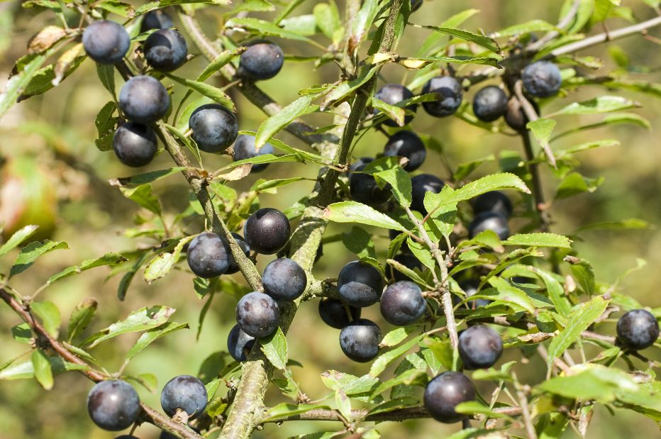 Sloes Derek Middleton