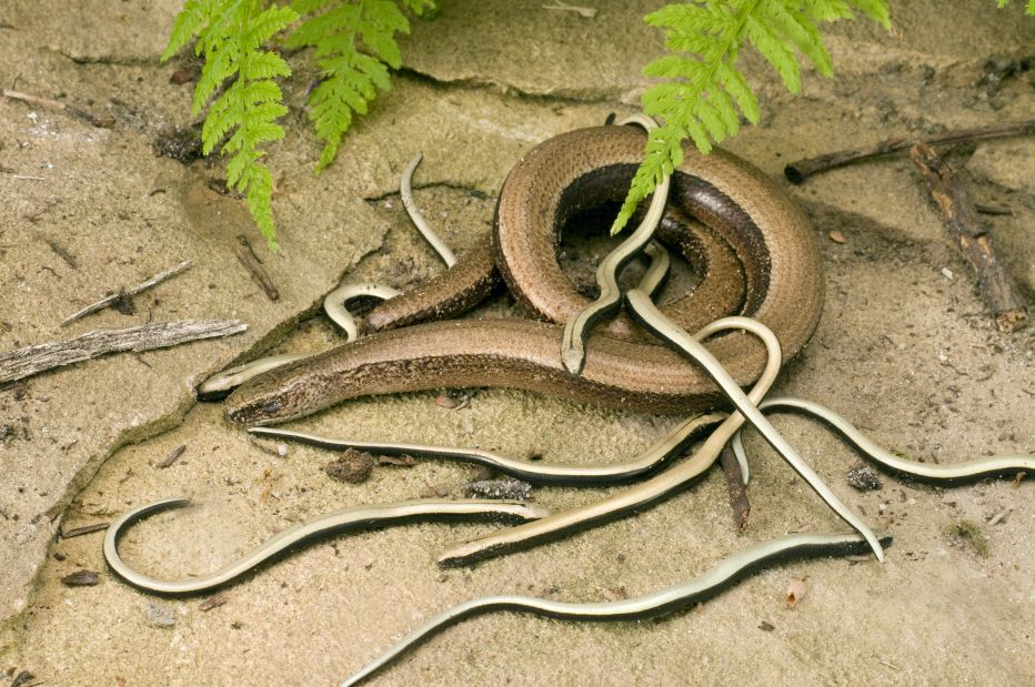Slow worm & young © Derek Middleton