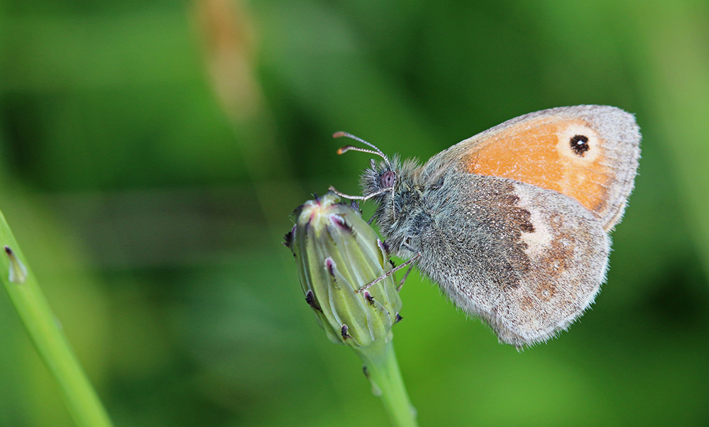 Small heath butterfly (c) Wendy Carter