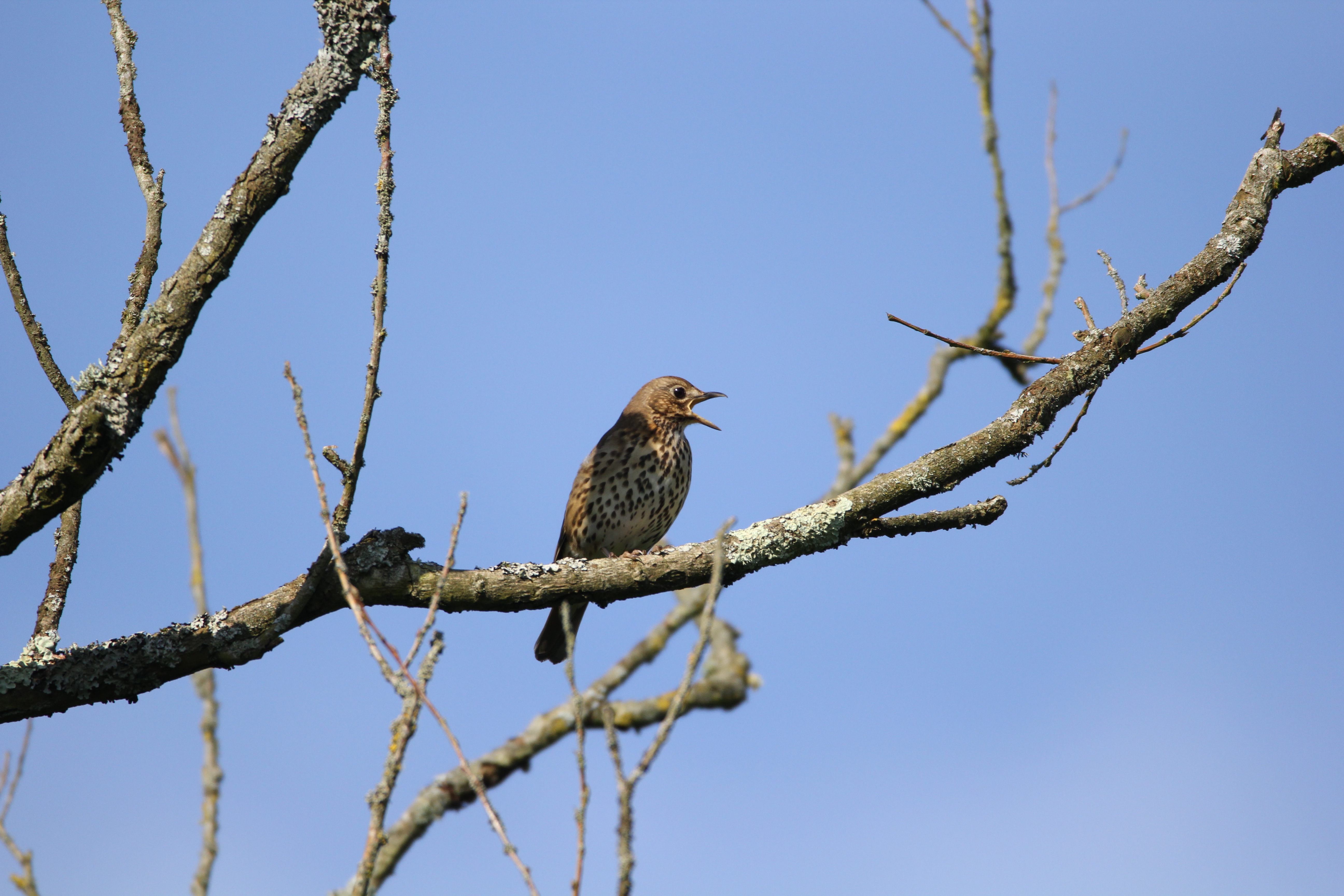 Song Thrush (Turdus philomelos) at Woods Mill