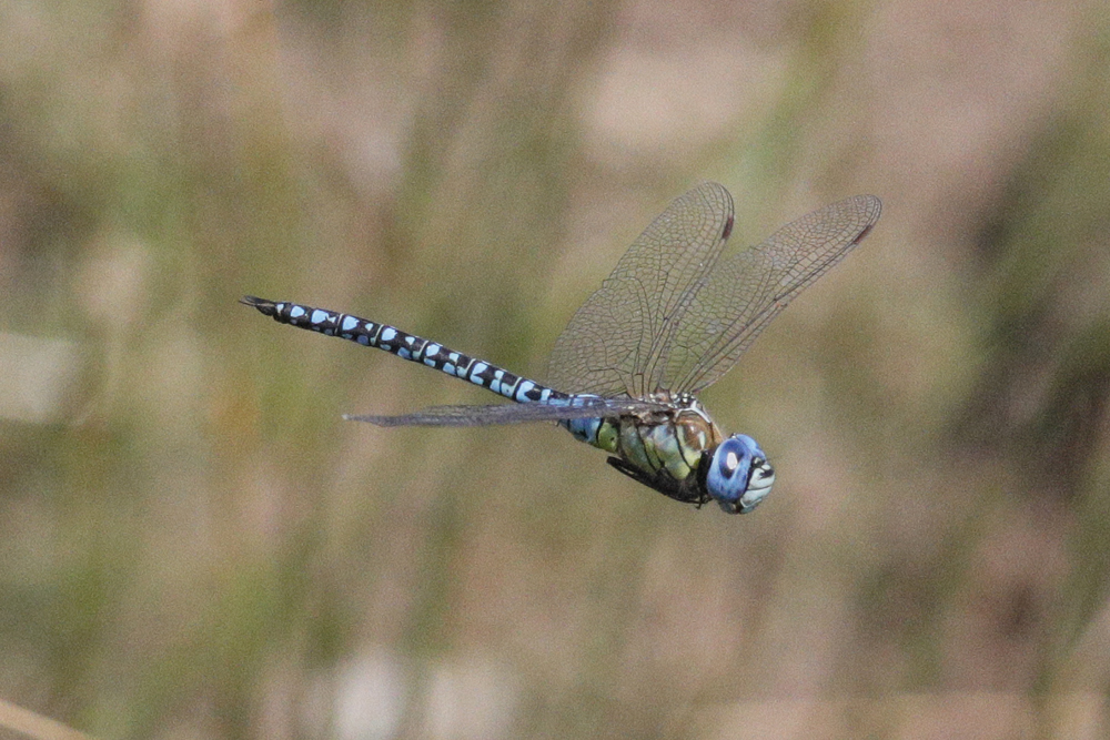 Southern Migrant Hawker 200731