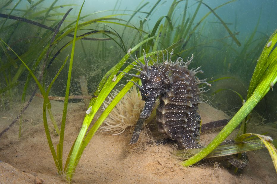 Spiny Seahorse in Seagrass©Alexander Mustard2020VISIONSussex Wildlife Trust