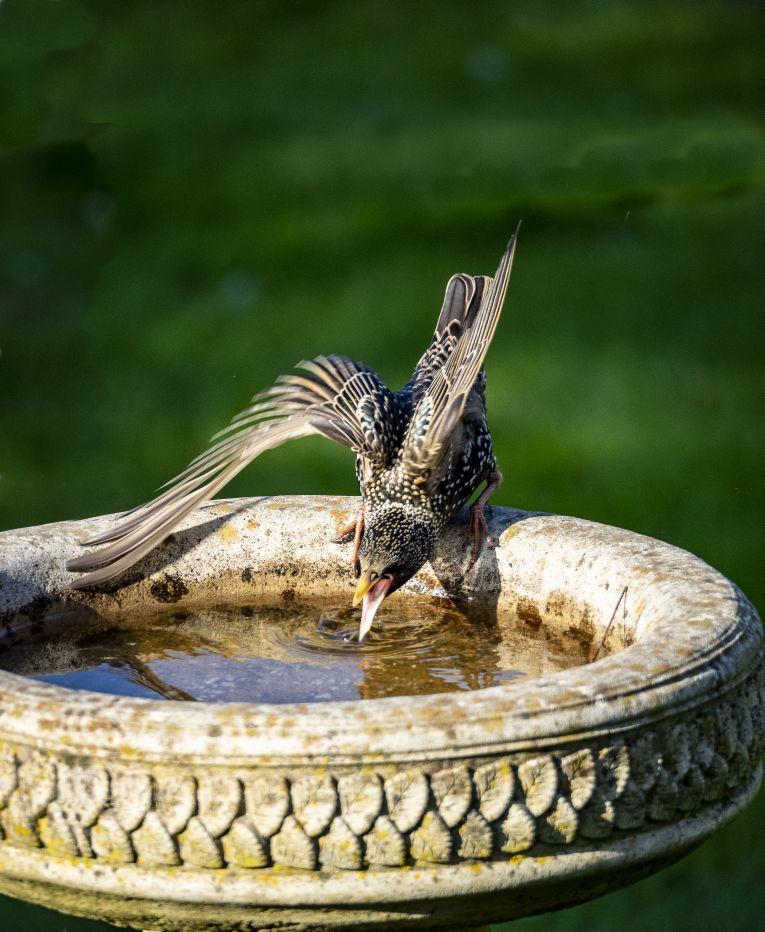 Starling Drinking at Birdbath©Dennis HuntSussex Wildlife Trust