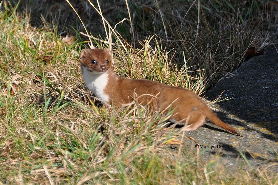 Stoat©Marilyn DewarSussex Wildlife Trust