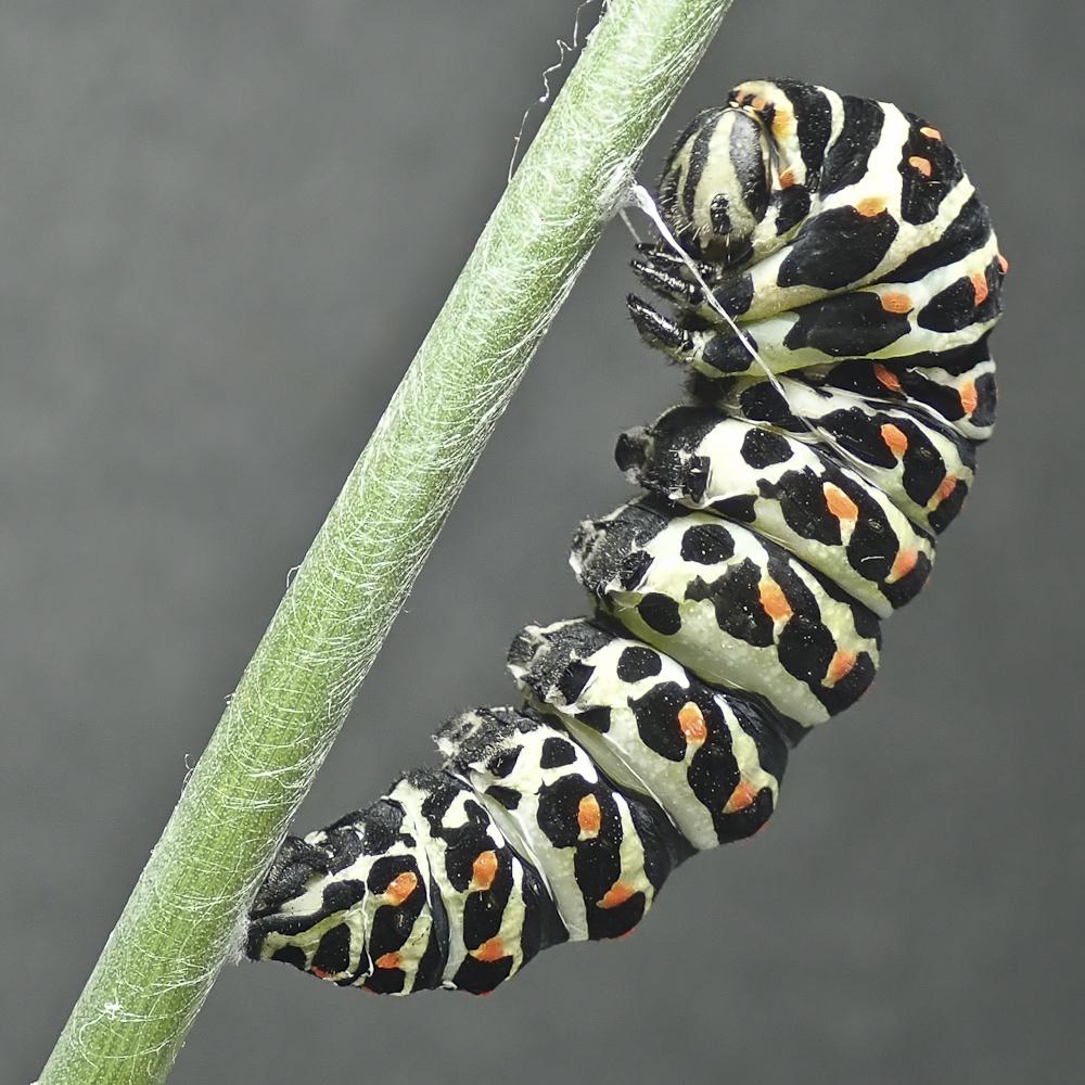 Swallowtail 4 8311641