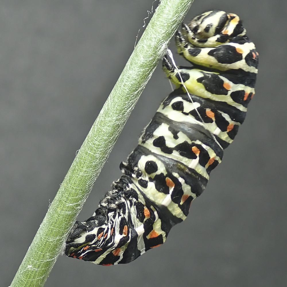 Swallowtail 4 8311642