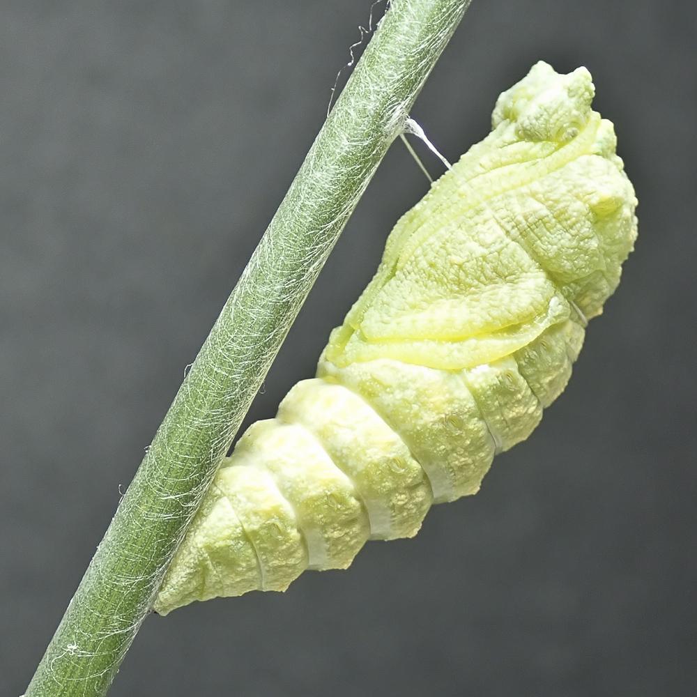 Swallowtail 4 8311644