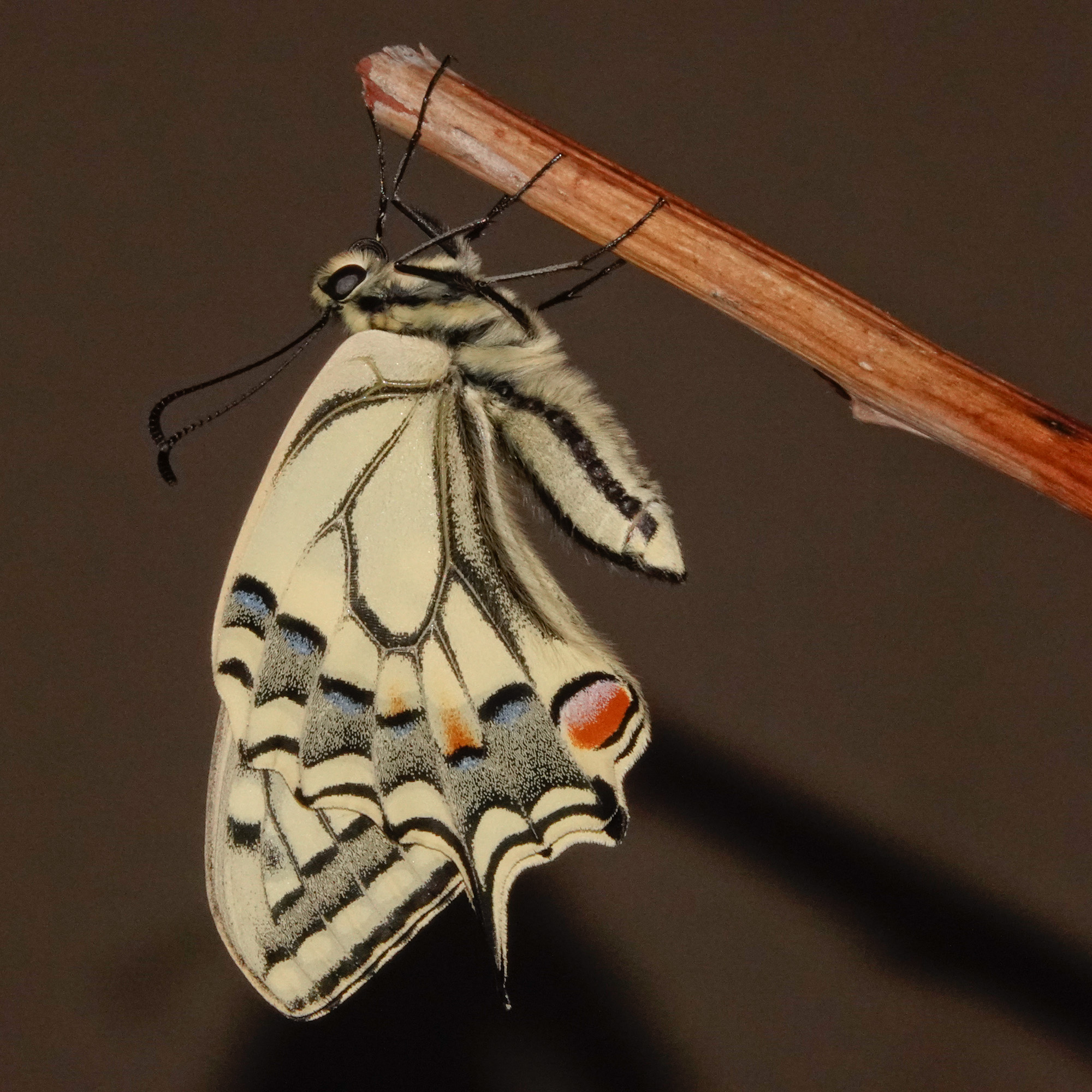 Swallowtail 6706