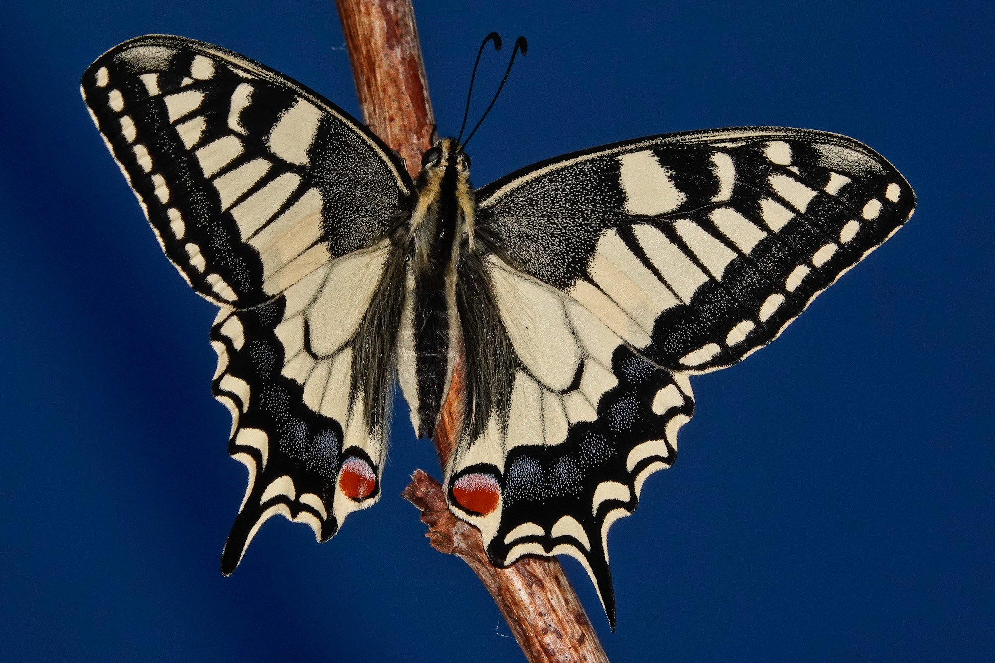 Swallowtail 6723