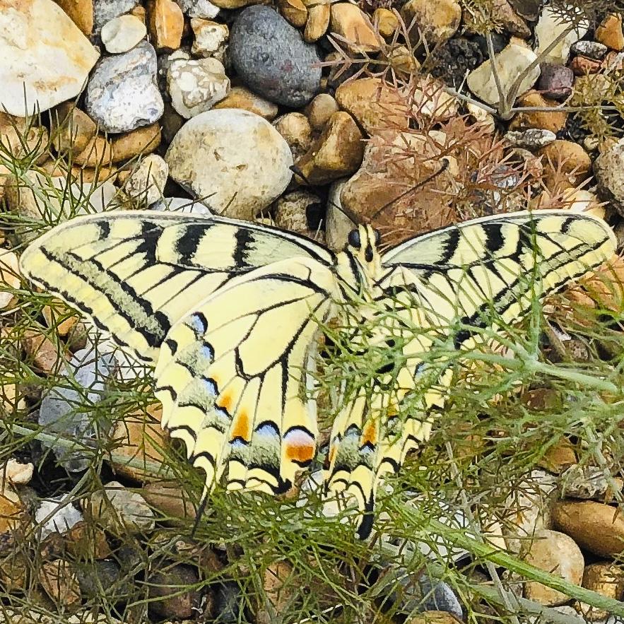 Swallowtail update 5822