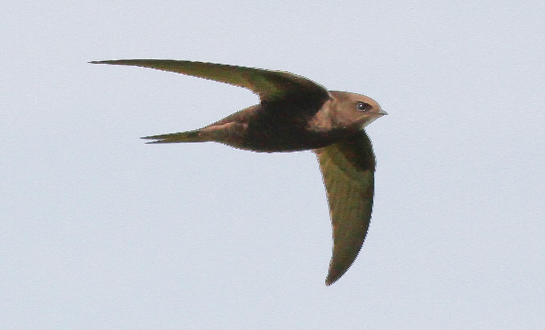 Swift beak  7343