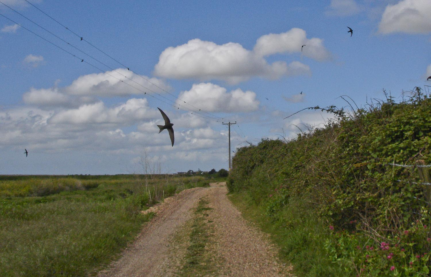 Swifts at Rye Harbour 03619