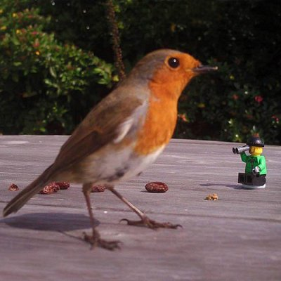 Tiny Birder watches this robin on the bird table.