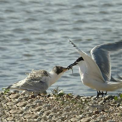 sandwich tern chick being fed by parent