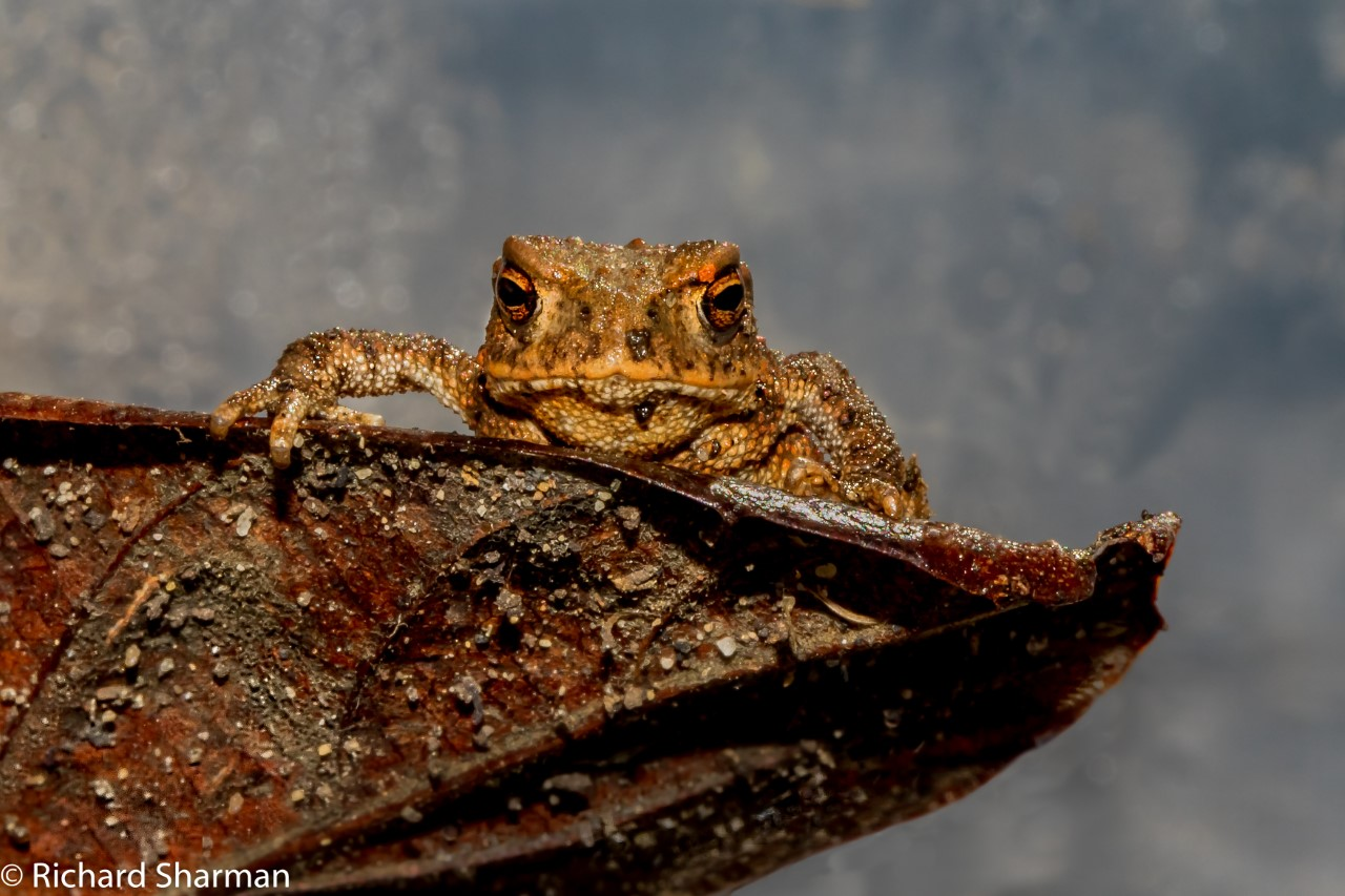 Thumbnail Baby toad on leaf