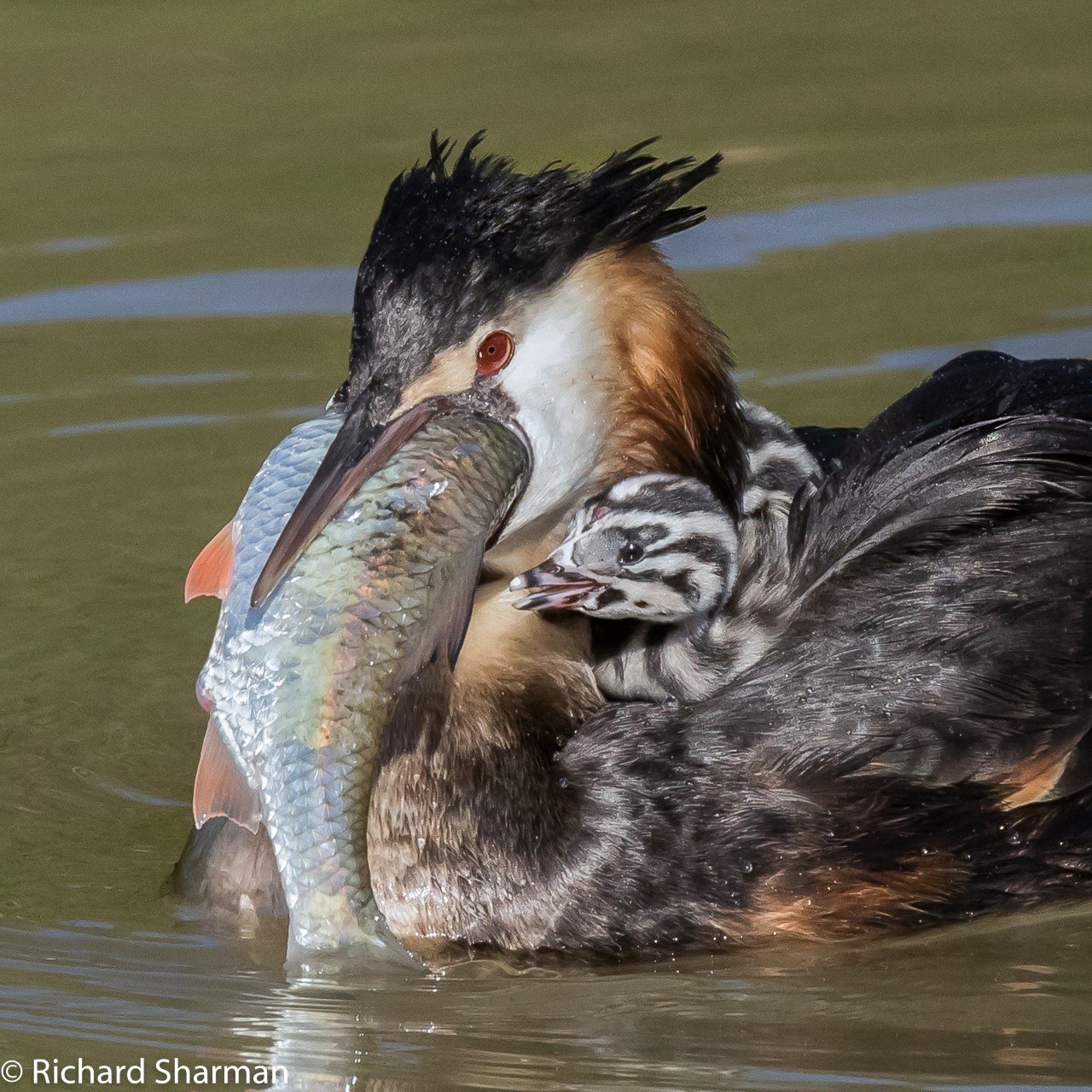 Thumbnail Great Crested Grebes