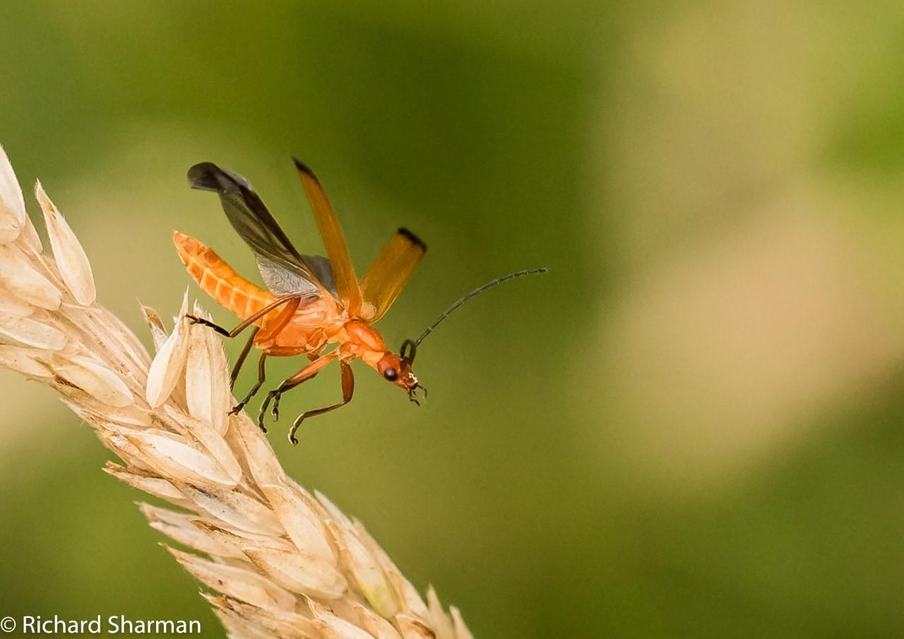 Thumbnail Soldier Beetle
