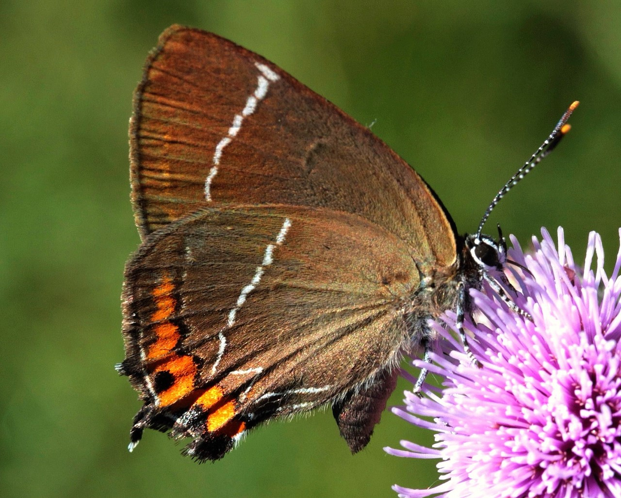 Thumbnail White letter Hairstreak   Photo Credit Jamie Burston