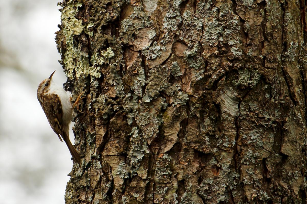 Treecreeper1