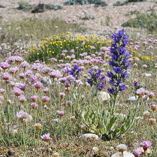 Vipers Bugloss and Thrift at Rye Harbour Nature Reserve