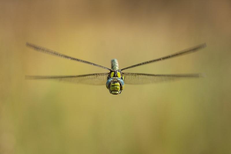 Web 1dragonfly